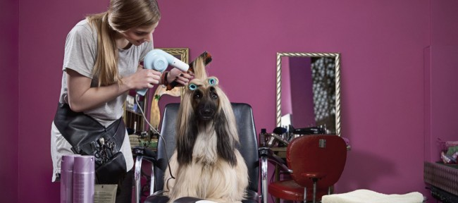 Woman drying hair of longhair sighthound